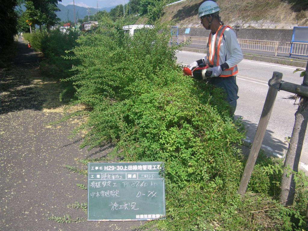 上田バイパス ユキヤナギの刈り込み