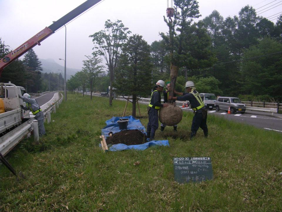 軽井沢バイパス 中央分離帯へイチイの移植